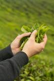 primer de la mano que sostiene las hojas de té frescas en la plantación fotografía de archivo