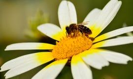 Primer de la margarita blanca y de la abeja Imagen de archivo libre de regalías