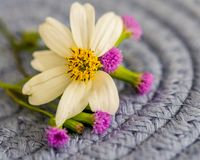 Primer de la margarita con acentos magentas minúsculos de la flor fotografía de archivo