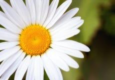 Primer de la margarita de la primavera Imagenes de archivo