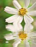 Primer de la margarita reflejado en el agua Foto de archivo libre de regalías