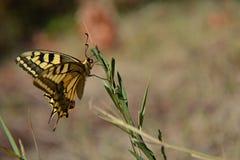 Primer de la mariposa amarilla que se coloca en él se chiba el exterior en el campo Imágenes de archivo libres de regalías