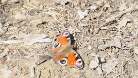 Primer de la mariposa anaranjada hermosa en hierba marrón media La mariposa anaranjada hermosa con los modelos redondos se sienta almacen de video