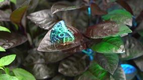 Primer de la mariposa azul del verde de los peleides de Morpho que se sienta en la licencia roja marrón de la planta, visión desd almacen de metraje de vídeo