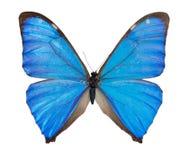 Primer de la mariposa azul de Morpho aislada imagen de archivo