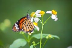 Primer de la mariposa común del tigre (genutia del Danaus) que alimenta en una flor del jardín Imagen de archivo