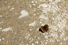 Primer de la mariposa de la montaña Foto de archivo