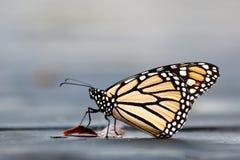 Primer de la mariposa de monarca fotografía de archivo
