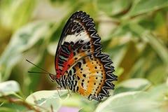 Primer de la mariposa del lacewing del leopardo Imágenes de archivo libres de regalías