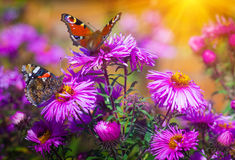 Primer de la mariposa en una flor salvaje Fondo de la naturaleza del verano Fotos de archivo libres de regalías