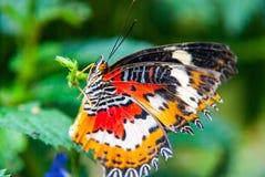 Primer de la mariposa que se sienta en la hoja verde Fotografía de archivo