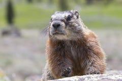 Primer de la marmota en roca Foto de archivo