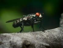 Primer de la mosca Imagenes de archivo