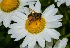 Primer de la mosca de abeja Foto de archivo libre de regalías