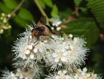 Primer de la mosca de abeja Foto de archivo