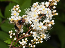 Primer de la mosca de abeja Imágenes de archivo libres de regalías