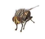 Primer de la mosca de la casa fotos de archivo