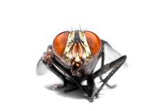 primer de la mosca de la casa imagen de archivo libre de regalías