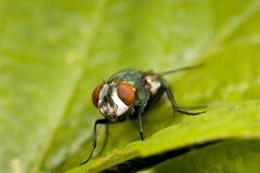 Primer de la mosca de soplo imágenes de archivo libres de regalías