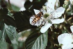 Primer de la mosca rayada en las flores de la zarzamora Fotos de archivo