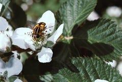 Primer de la mosca rayada en las flores de la zarzamora Imágenes de archivo libres de regalías