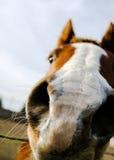 Primer de la nariz del caballo Imágenes de archivo libres de regalías
