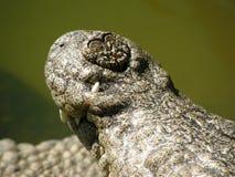 Primer de la nariz del cocodrilo foto de archivo