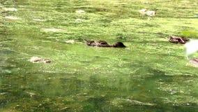 Primer de la natación del pato en agua verde Flotadores preciosos salvajes del pato en el agua de superficie verde enorme ilumina almacen de video