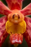 Primer de la orquídea Imagen de archivo
