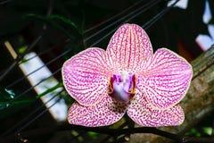 Primer de la orquídea rosada Fotos de archivo