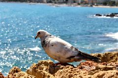 Primer de la paloma Imagen de archivo