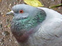 Primer de la paloma fotografía de archivo