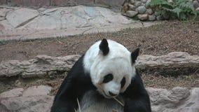 Primer de la panda gigante del almuerzo Chiang Mai, Tailandia almacen de metraje de vídeo