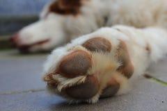 Primer de la pata del perro de pastor australiano Imagen de archivo libre de regalías