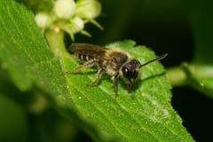 Primer de la pequeña abeja salvaje caucásica con las antenas largas en verde Foto de archivo