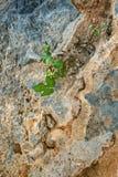 Primer de la pequeña higuera que crece en roca fotografía de archivo libre de regalías