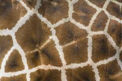 Primer de la piel de la jirafa Fotografía de archivo libre de regalías