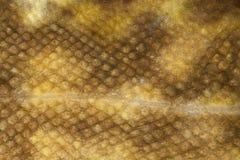 Primer de la piel de la lota de río (lota del Lota) Imagenes de archivo