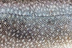 Primer de la piel de la trucha de lago (namaycush del Salvelinus) Foto de archivo libre de regalías