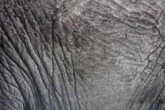 Primer de la piel del elefante Fotografía de archivo