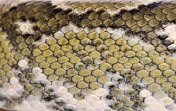 Primer de la piel de serpiente del manditra de la boa, madagascariensis de Sanzinia foto de archivo libre de regalías