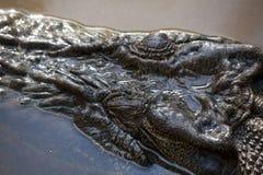 Primer de la pista del cocodrilo del agua salada Fotografía de archivo