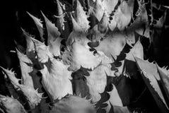 Primer de la planta americana del agavo Fotografía de archivo libre de regalías