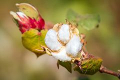 Primer de la planta de algodón Fotos de archivo
