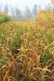 Primer de la planta de mijo en el campo Imagen de archivo libre de regalías