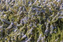Primer de la planta de Rosemary Imagen de archivo