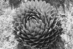 Primer de la planta del agavo en B&W Fotos de archivo libres de regalías