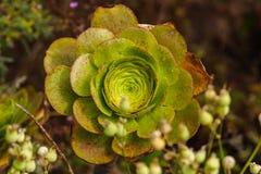 Primer de la planta suculenta, percarneum del Aeonium Fotos de archivo libres de regalías