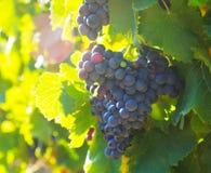 Primer de la plantación de los viñedos fotos de archivo