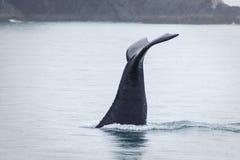 Primer de la platija de la ballena jorobada que desaparece en aguas de Alaska frígidas Foto de archivo libre de regalías